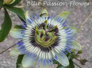 2k. Blue Passion flower_Castillon-Debats