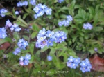 1. Flowerbed8_Forget-me-not