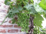 2. Grape tree