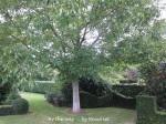 2. Walnut tree