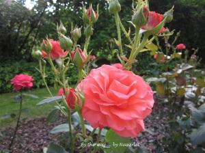 3 Red Rose