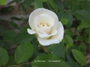3 White Rose1