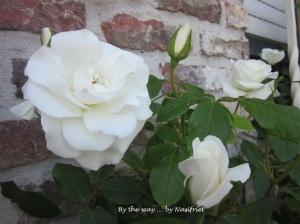 3 White Rose2
