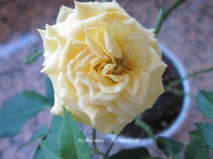 3 Yellow Rose