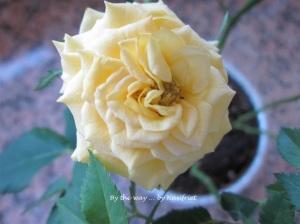 3 Yellow Rose