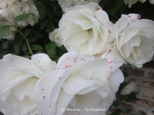 4 White Rose_red spots4